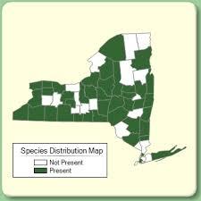 Rudbeckia hirta - Species Page - NYFA: New York Flora Atlas