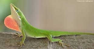 Image result for anole lizard