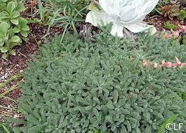 Achillea tomentosa | California Flora Nursery