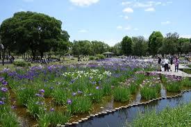 Oasis in Tokyo - Early Jun for <b>Iris flowers</b> - Review of Mizumoto Park ...