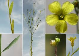 Linum trigynum L. - Guida alla flora degli stagni temporanei della ...