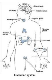 diagram of internal organs   tutorvista comendocrine system