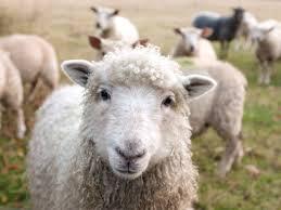 Gift of <b>Sheep</b> | Heifer International