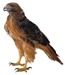 Výsledok vyhľadávania obrázkov pre dopyt hawk clipart