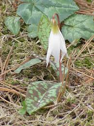 Erythronium dens-canis - Wikipedia