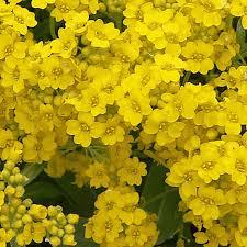 Alyssum saxatile (Basket Of Gold) Wildflower Seed