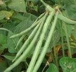Images & Illustrations of cowpea plant