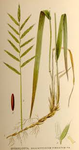 Brachypodium pinnatum - Wikipedia