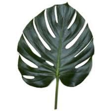 <b>Monstera</b> Palm <b>Leaves</b> (10 or 25 Bunches) - Sam's Club