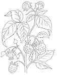 Малина картинки для раскраски
