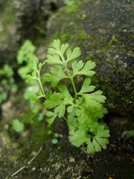 Jersey Fern (Anogramma leptophylla) · iNaturalist.org