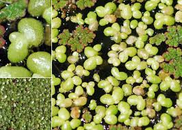 Lemna gibba L. - Portale sulla flora del Parco Nazionale dell'Asinara ...