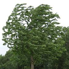 Image result for windy trees