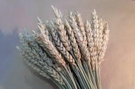 <b>Колосья</b> пшеницы <b>сухоцвет</b> | Festima.Ru - Мониторинг объявлений