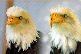 <b>Beauty and the</b> Beak: A Bald Eagle Rescue Story | Birds & Blooms