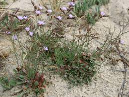 Limonium virgatum (Willd.) Fourr. | Flora of Israel Online