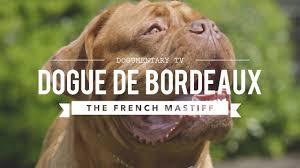ALL ABOUT THE <b>DOGUE DE BORDEAUX</b>: THE <b>FRENCH MASTIFF</b> ...