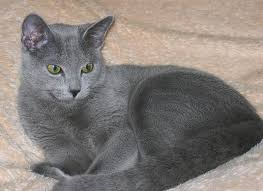 Image result for grey cat