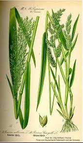 Panicum miliaceum - Online Virtual Flora of Wisconsin