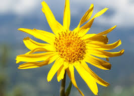 Arnica Montana in Omeopatia: proprietà e uso del rimedio omeopatico
