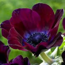 These or <b>burgundy</b> ranunculus...Mayesh <b>Wholesale</b> Florists - Search ...