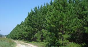 Image result for loblolly pine trees
