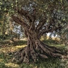 Фотообои National Geographic Olive Tree (3,68х2,54 м) - купить со ...