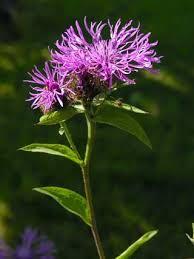 Wig Knapweed, Centaurea phrygia - Flowers - NatureGate