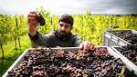 English vineyard starts earliest ever harvest after record hot summer