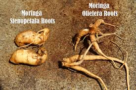 Image result for moringa root