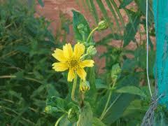 Guizotia abyssinica Niger Seed, Ramtilla PFAF Plant Database