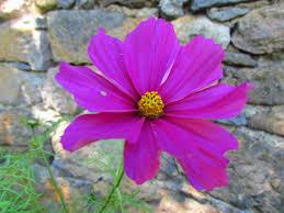 """Résultat de recherche d'images pour """"fleur cosmos"""""""