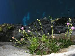 Cheirolophus crassifolius - IUCN Top 50