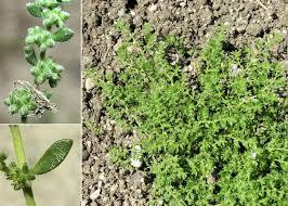 Herniaria hirsuta L. subsp. hirsuta - Sistema informativo sulla flora ...