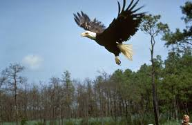 Image result for eagles
