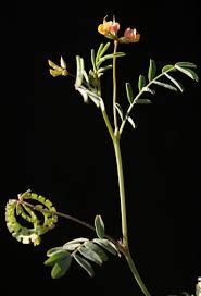 Hippocrepis multisiliquosa L. | Flora of Israel Online