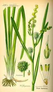 Sparganiaceae - Wikipedia