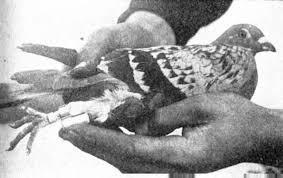 Resultado de imagen para tesla paloma
