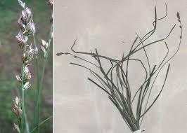Carex leersii F.W.Schultz - Sistema informativo sulla flora vascolare ...