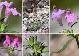 Galeopsis angustifolia Ehrh. ex Hoffm. subsp. angustifolia - Portale ...