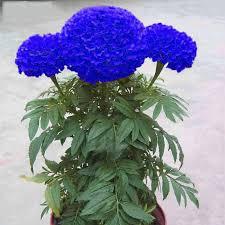 Blue Maidenhair Flower Potted Herb Garden Marigold ...