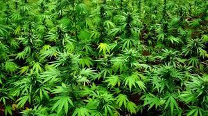 Resultado de imagen de imagenes sobre la marihuana
