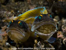 ocean art contest winners 2015 underwater photography guide jawfish couple next generation