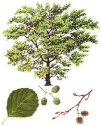 Image result for alder
