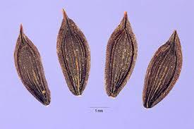 Plants Profile for Lactuca virosa (bitter lettuce)