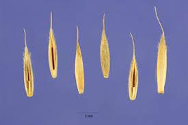 Plants Profile for Festuca ovina (sheep fescue)