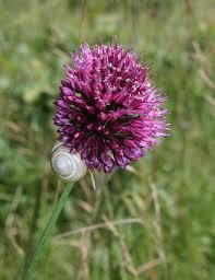 Round-headed garlic
