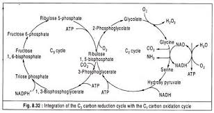 essay on the path of carbon in photosynthesis integration of the c carbon reduction cycle  the c carbon oxidation cycle
