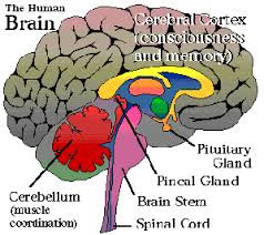 The Reptilian Complex within the Brain