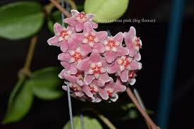 Hoya carnosa '<b>Pink big flower</b>' - rooted cutting - Tropics @Home